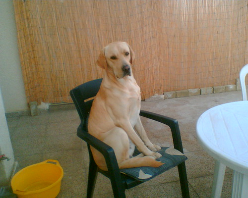 yellow labrador - Roy