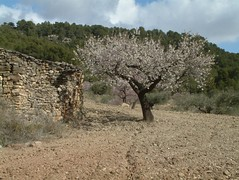 Amitavati Almond tree in blossom