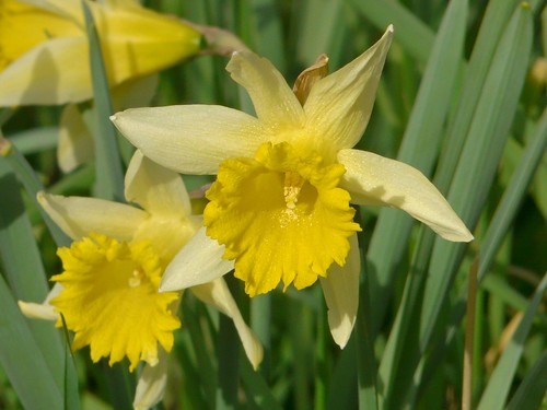 Daffodils in Stave Hill Ecology Park