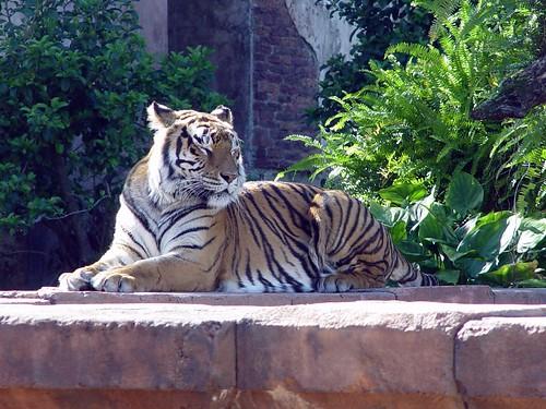 tiger in the sun (3/8)