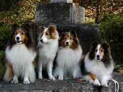 Four collie dogs (wing of kaz) Tags: japan nikon kyoto p5000