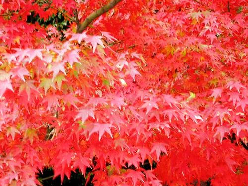 japanese maple leaf tree. japanese maple tree garden.