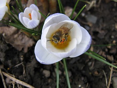 First bee of Spring