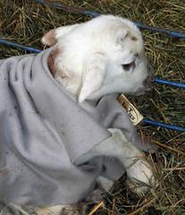 Lamb pajames