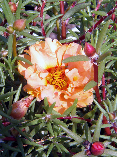 0601_02peachmossrose
