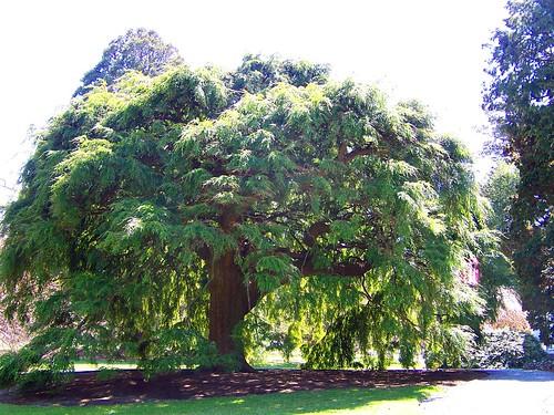 blythe tree