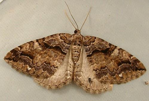 1168 Anticlea vasiliata - Variable Carpet Moth 7329