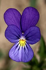 Viola calcarata (imanh) Tags: flower nature switzerland natuur wildflower viola bloem iman zwitserland viooltje heijboer calcarata imanh alpenviooltje