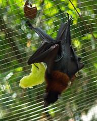malayan flying fox (Melosh) Tags: bat malaysia flyingfox melaka malacca