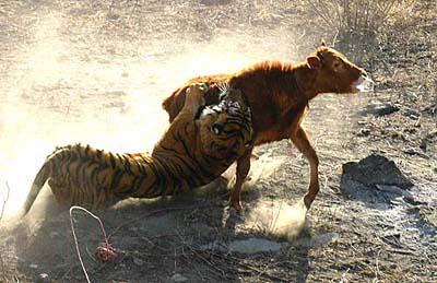 Tigre de Bali -(Extinto) par danielt149