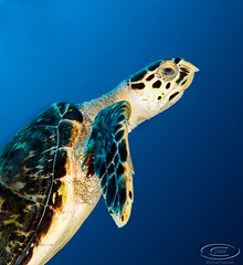 (gerb) Tags: blue topf25 beautiful topv111 1025fav 510fav wow cool nice topv555 topv333 underwater turtle topv1111 topv999 scuba fv5 wildanimal 1224mmf4g topv777 d200 bonaire hawksbillturtle tvp aquatica naturesfinest specanimal pfo naturefinest photofaceoffwinner borntobewildandfree natureoutpost bfgreatesthits bflfgreatesthits pfogold
