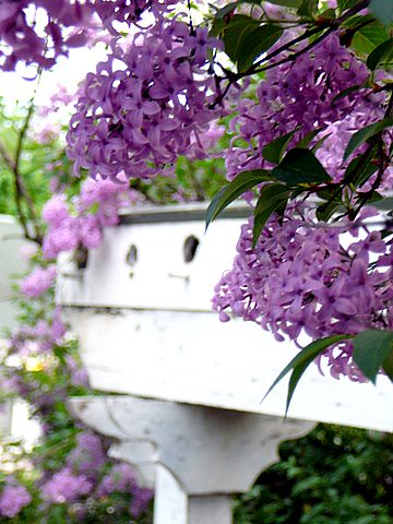 Lilacs and Arbor