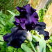Heart of Darkness Iris