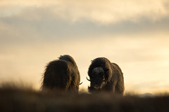 The encounter (George Pancescu) Tags: nikon d7200 70200mm ox muskox wild wildlife nature natural outdoor sunrise morning dovrefjell norway europe animal light