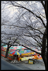 HADONG Cherry Blossom XV (Flitze50) Tags: cherry spring blossom korea cherryblossom southkorea fruehling kirschbluete hadong hwagae