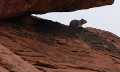20090526_7433...Solitary, silent, secretive surveillance squirrel sitting on sandstone in canyon of Salt Wash (listorama) Tags: park animal fauna utah squirrel sandstone hiking canyon hike moab archesnationalpark 900 lightroom saltwash ut2009may