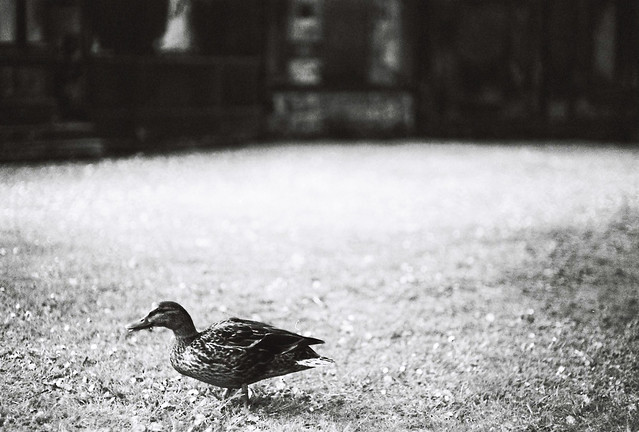 a duck in the graveyard