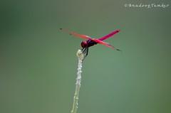 DSC_2164 (Anudeep Tumkur) Tags: macro fly dragonfly karnataka tumkur