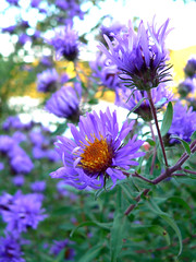 New England Aster on the Connecticut River (Christine4nier) Tags: flower purple newenglandaster asternovaeangliae symphyotrichumnovaeangliae pdpnw bestnaturetnc07