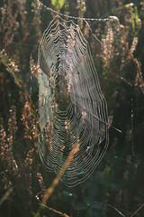 Cobwebs and dew. (Jelltex) Tags: autumn england fall kent colours unitedkingdom cobweb dew bleanwood jelltex jelltecks ianhadingham