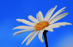 White flower against blue sky (Tanya Puntti (SLR Photography Guide)) Tags: blue sky flower nature floral closeup canon whiteflower sunny bluesky canonrebel canon100mmmacro blueribbonwinner closeupflower canonmacro flowerotica mywinners canon400d anawesomeshot diamondclassphotographer flickrdiamond theperfectphotographer