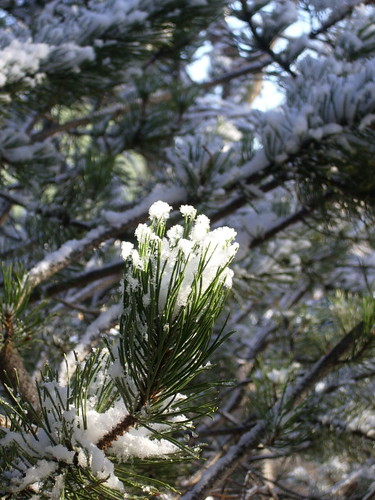 pine snow1