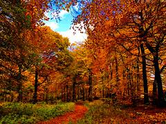 Walk on Gold (algo) Tags: autumn chilterns england algo trees gold ridgeway ancientway leaves sky explore bravo magicdonkey 200750plusfaves topf50 topf100 topv333 topv999 topv1111 golddragon topv2222 topf200 alemdagqualityonlyclub 71107 outstandingshots photography 50f 100f 200f