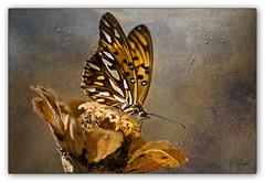 buTTerfly (T Glow) Tags: bravo magicdonkey flickrsbest mywinners abigfave superbmasterpiece goldenphotographer bratanesque excellentphotographerawards thegardenofzen