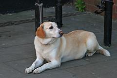 patiently waiting (Leo Reynolds) Tags: dog pet animal fauna canon mammal eos iso400 f71 135mm 30d notmydog 0ev 0005sec hpexif leol30random groupallanimals xleol30x xxx2007xxx xratio3x2x