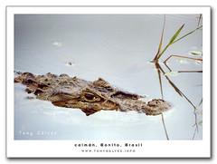 caimán / cayman
