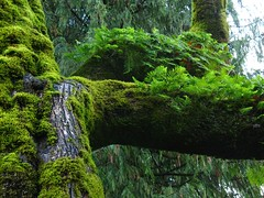 The Upper Branches (Starlisa) Tags: trees green grass forest washington state cedar restarea 2007 dec20 southboundi5 img0041 northofvancouver