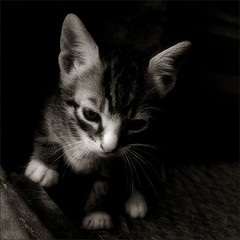 gat / cat (Ferran.) Tags: bw cats cat catalonia gato gat pyrenees ripolles gats queralbs goranbregovic classycats