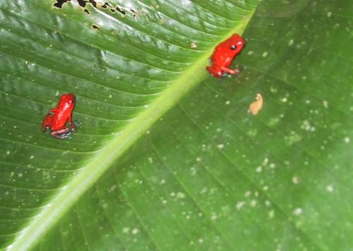 Ranitas rojas en hoja de potus