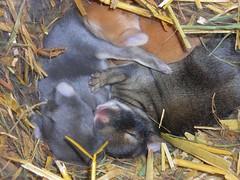 Davey's babies (Forever in our hearts, Roxy.) Tags: cute rabbit bunny bunnies buns rabbits bun bunnie bunbun lagomorpha