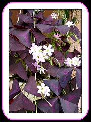 Oxalis triangularis (Purple Shamrock or Lucky Shamrock)