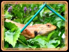 Macro of Calotes versicolor (Garden Fence Lizard Changeable Lizard)