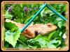Changeable Lizard, Garden Fence Lizard, Oriental Garden Lizard, Bloodsucker Lizard, Crested Tree Lizard (Calotes versicolor)