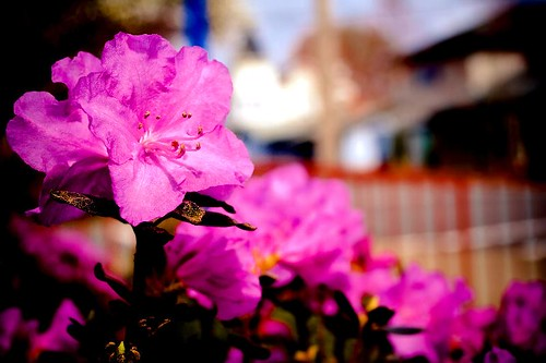 Standing Apart - spring blooming pink azaleas in Stayton Oregon
