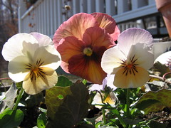 Porch pansies