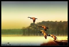 Fly Away (mac_raw) Tags: vacation color birds bravo ducks kisses canadiangeese bff besos themoulinrouge supershot xoxoxoxox d80  marylandbaltimore henyo canadianhonkers superaplus aplusphoto xxxxxxxxxxxxxxxxxxxxxxxxxxx supercookie superbmasterpiece infinestyle avianexcellence nikkor80400mm macraw loveyoutons cookieisthebest darlisalovescookie andthecutest mondocafeclub lolyesiprefereaduckinosupermanlol duffyduckvalpop superdoopercookie sleepwellsupercookiexxxxx notducksgeese whereisyourmemorychip loveyoubunchesanyway cookieyouwerenearmeinmd lotsoflovesandhuggles mmmloveagirlwithabiglens xoxoxox blackwaternationalrefuge mmmm80400mmlolyoulovebigtoyslolnaughtyhehehe hicookienicetoseeyouarroundoxxxxx cookieisthebestoo bighugsandkissesxoxoxo lolicantreadihaventgotmyglasseslol grrrillgiveyouoxbuttlolnitexxxx hakhakhakhak hakhakhakhak sogoodtoseeyousweetcookie areustillawayhopealliswellxx