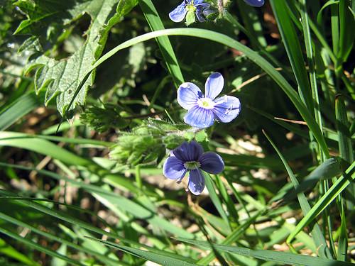Liten blå blomma