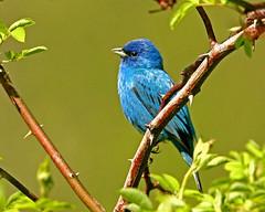 Indigo Bunting  {Passerina cyanea} (egdc211) Tags: bird aves birdwatcher colorphotoaward naturewatcher connecticutbirds connecticutbird newenglandbird