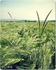 Triticum æstivum (Telemak) Tags: france europe champagne champs olympus e topf topv agriculture topv9999 510 farine champ ble blé marne bles aisne blés telemak télémak