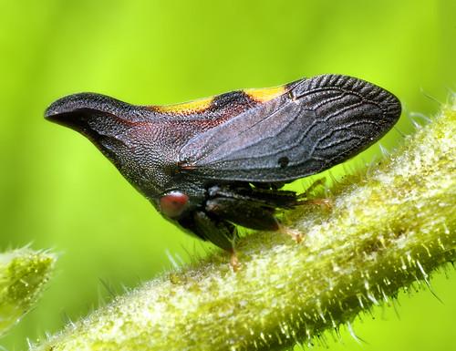 Thorn Mimic Treehopper (Enchenopa) by Thomas Shahan.