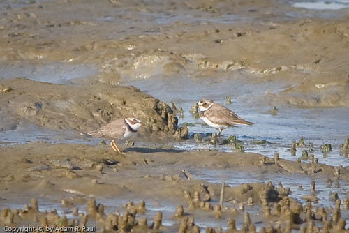 Semipalmated Plovers by you.