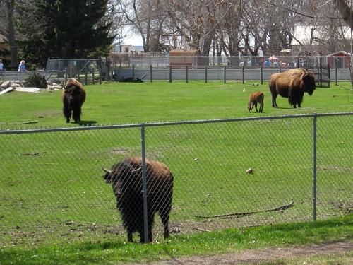 buffalo (127/365)
