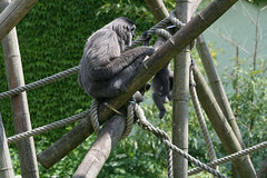 Grauer Gibbon - Mutter & Junges
