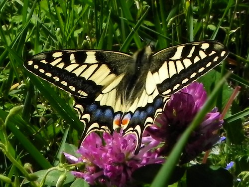 Machaon - Bellevaux 093