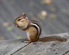 Oh-Mon-Dieu! (SavingMemories) Tags: ontario cute mouse rodent squirrel critter wildlife chipmunk chippy backyardwildlife supershot savingmemories suemoffett
