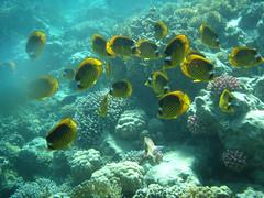 """Polypen-Falterfische_P6041841 - polyps butterfly fish (horn.mats) Tags: red sea fish coral butterfly meer underwater egypt diving olympus sw ägypten 770 polyps tauchen rotes unterwasser schnorcheln korallen snokel μ polypenfalterfische """"μ770sw"""""""